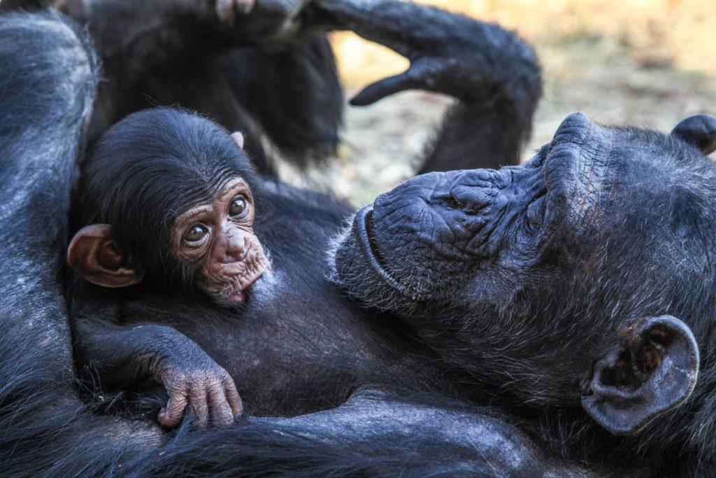 chimpanzees-i4aexhh00uo-liz-bridges